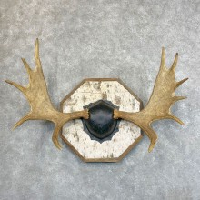 Moose Antler Plaque For Sale #24500 @ The Taxidermy Store