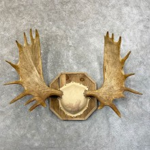 Moose Antler Plaque For Sale #24615 @ The Taxidermy Store