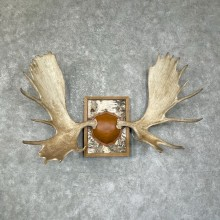 Moose Antler Plaque For Sale #25276 @ The Taxidermy Store
