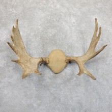 Moose Antler Plaque Mount For Sale #19532 @ The Taxidermy Store