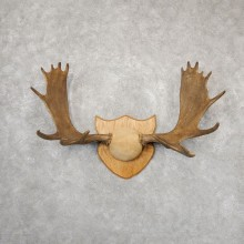 Moose Plaque Mount For Sale #18873 @ The Taxidermy Store