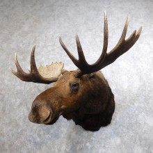Western Canadian Moose Taxidermy Shoulder Mount For Sale