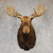 Moose Shoulder Mount For Sale #20428 @ The Taxidermy Store
