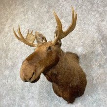 Moose Shoulder Mount For Sale #24747 @ The Taxidermy Store
