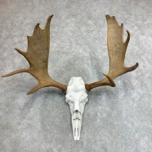 Moose Skull European Mount For Sale #21952 @ The Taxidermy Store