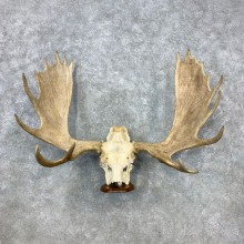 Moose Skull European Taxidermy For Sale