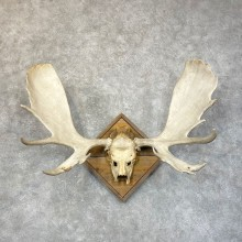 Moose Skull European Mount For Sale #24592 @ The Taxidermy Store