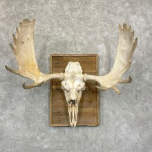 Moose Skull European Mount For Sale #24920 @ The Taxidermy Store