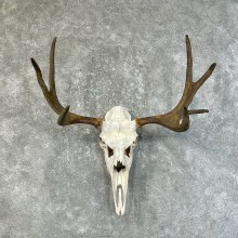 Moose Skull European Mount For Sale #25211 @ The Taxidermy Store