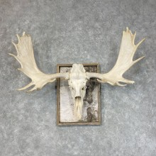 Moose Skull European Mount For Sale #25371 @ The Taxidermy Store