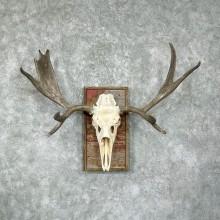 Moose Skull European Taxidermy Piece For Sale