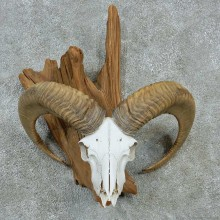Ram Skull & Horns Taxidermy Mount #13220 For Sale @ The Taxidermy Store