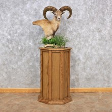 Mouflon Sheep Pedestal Mount #12324 For Sale @ The Taxidermy Store