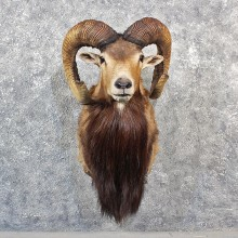 Mouflon Ram Sheep Mount #11552 - For Sale @ The Taxidermy Store