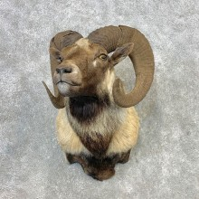 Hybrid Sheep Shoulder Mount For Sale #21651 @ The Taxidermy Store
