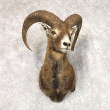 Mouflon Ram Shoulder Mount For Sale #22518 @ The Taxidermy Store