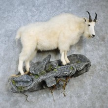 Mountain Goat Life-Size Mount For Sale #15124 @ The Taxidermy Store