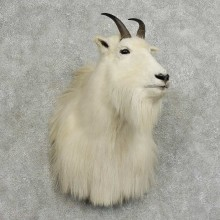 Mountain Goat Shoulder Mount For Sale #16094 @ The Taxidermy Store