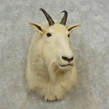 Mountain Goat Shoulder Mount For Sale #16679 @ The Taxidermy Store