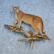 Mountain Lion Life-Size Mount For Sale #15511 @ The Taxidermy Store