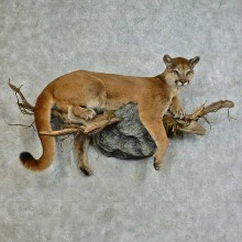Mountain Lion Life-Size Mount For Sale #16129 @ The Taxidermy Store