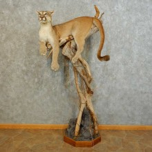 Mountain Lion Life-Size Mount For Sale #16481 @ The Taxidermy Store