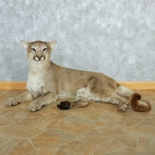Mountain Lion Life-Size Taxidermy Mount #13287 For Sale @ The Taxidermy Store