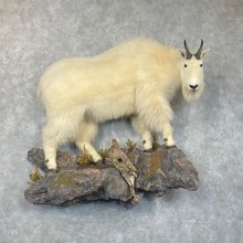 Mountain Goat Life-Size Mount For Sale #24416 @ The Taxidermy Store