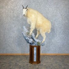 Mountain Goat Life-Size Mount For Sale #24437 @ The Taxidermy Store
