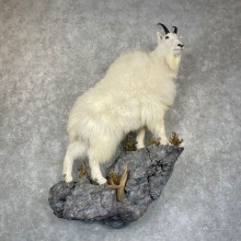 Mountain Goat Life-Size Taxidermy Mount For Sale