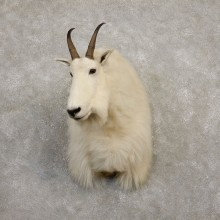 Mountain Goat Shoulder Mount For Sale #19940 @ The Taxidermy Store