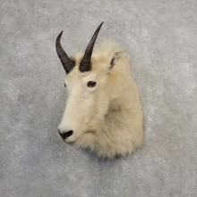 Mountain Goat Shoulder Mount For Sale #21099 @ The Taxidermy Store