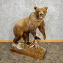Mountain Grizzly Bear Life Size Mount For Sale #23301 @ The Taxidermy Store