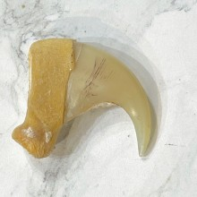Mountain Lion Cougar Authentic Claw #24910 For Sale @ The Taxidermy Store