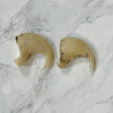 Mountain Lion Cougar Authentic Claws #24911 For Sale @ The Taxidermy Store