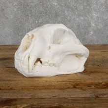 Mountain Lion Cougar Full Skull For Sale #19481 @ The Taxidermy Store