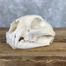Mountain Lion Cougar Full Skull For Sale #22060 @ The Taxidermy Store