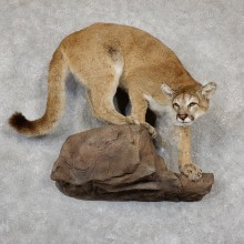Mountain Lion Life-Size Mount For Sale #19434 @ The Taxidermy Store