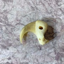 Mountain Lion Cougar Taxidermy Authentic Claw #21921 For Sale @ The Taxidermy Store