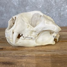 Mountain Lion Full Skull #25049 @ The Taxidermy Store