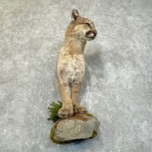 Mountain Lion Half Life-Size Mount For Sale #24115 @ The Taxidermy Store