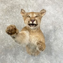 Mountain Lion Half Life-Size Mount For Sale #24622 @ The Taxidermy Store