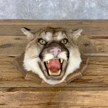 Mountain Lion Head Mount For Sale #22602 @ The Taxidermy Store