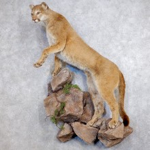 Mountain Lion Life-Size Mount For Sale #18749 @ The Taxidermy Store