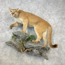 Mountain Lion Life-Size Mount For Sale #21643 @ The Taxidermy Store