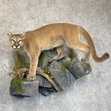 Mountain Lion Life-Size Mount For Sale #22771 @ The Taxidermy Store