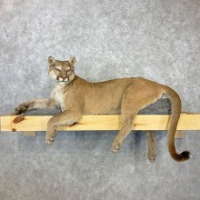 Mountain Lion Life-Size Mount For Sale #23084 @ The Taxidermy Store