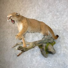 Mountain Lion Life-Size Mount For Sale #23537 @ The Taxidermy Store