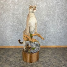 Mountain Lion (Cougar) Taxidermy Mount For Sale