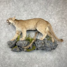 Mountain Lion Life-Size Mount For Sale #24456 @ The Taxidermy Store